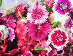 Edible Flowers from a garden in Chiang Mai, Thailand