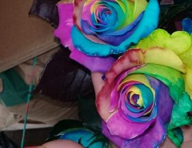 Rainbow Roses, Over The Rainbow | Bloomsday Review
