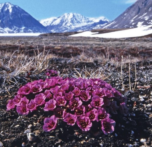 Arctic Blossoms: Purple Saxifrage