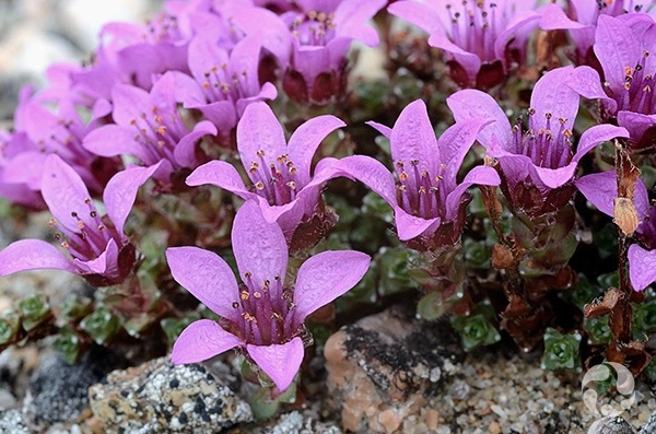 Purple Saxifrage on Dorset Island, July 2019