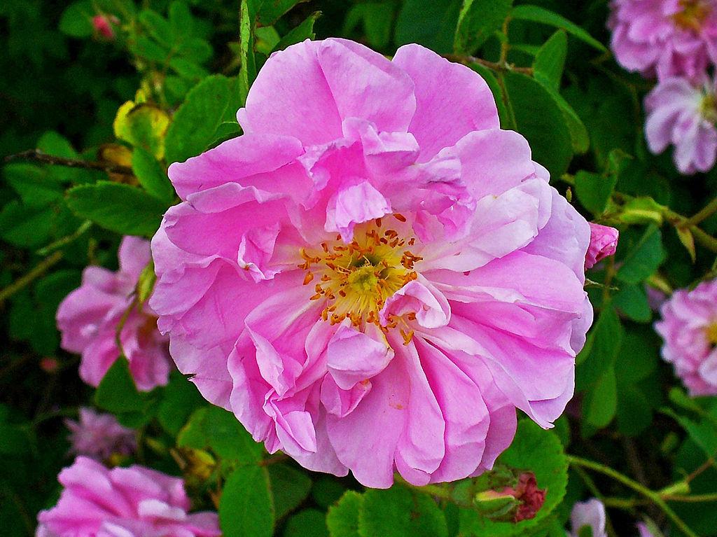 rosa-damascena-rosewater