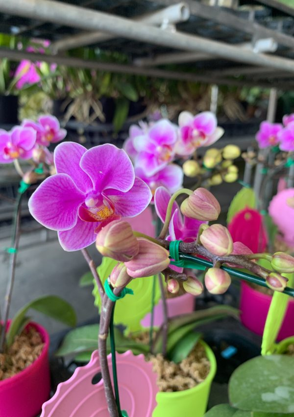 Orchid gazing in Chiang Mai