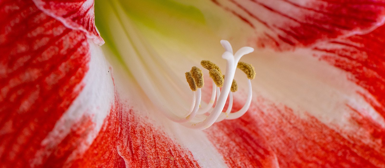 The Patient Love: Amaryllis