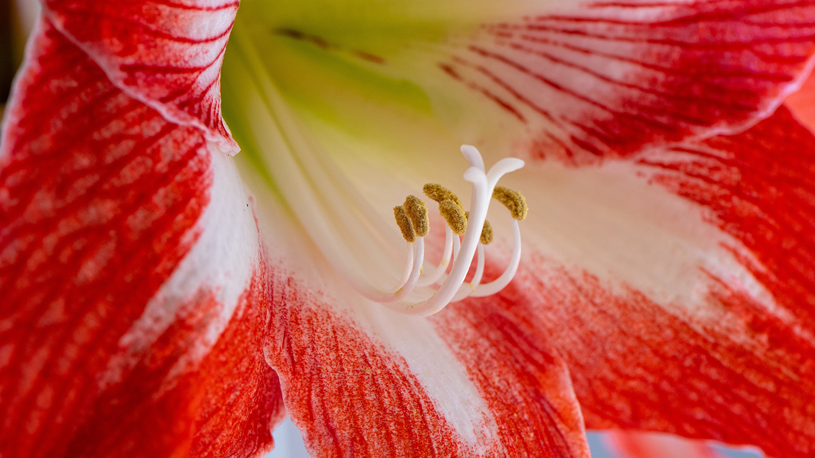 PHOTO: Amaryllis Up Close | Bloomsday Review